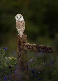 barn owl hunting by mark davies