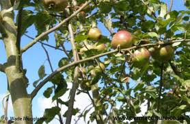 Backyard Orchard Culture  Deep Green PermacultureFruit Tree Hedgerow