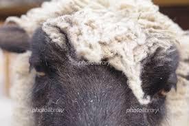 サフォークの羊 ドアップ 写真素材 5933133 フォトライブラリー