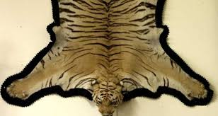 tiger skin rug with head mount 750 1 250