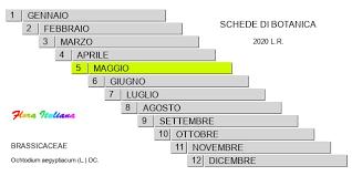 Ochtodium aegyptiacum [Octodio egiziano] - Flora Italiana