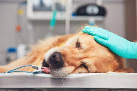 Canine Lymphoma Symptoms Treatment Of Lymphoma In Dogs Life Expectancy