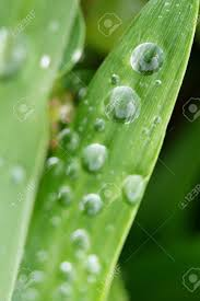 Water Drops On The Green Grass Blade Stock Photo Picture And