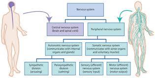 Nervous Human Body Anatomy Encyclopedia