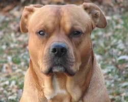 american bulldog golden retriever mix. American Bullador To Bulldog Golden Retriever Mix
