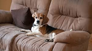 How to Keep Your Puppy f Furniture