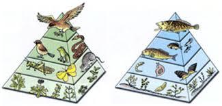 animal food pyramid. Plain Food Land And Aquatic Energy Pyramids With Animal Food Pyramid D