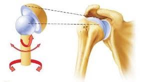 ball and socket joint. the arm (humerus) connects to skeleton through a ball \u0026 socket joint. and joint f