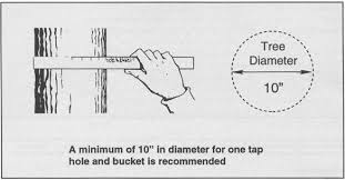 Bulletin 7036 How To Tap Maple Trees And Make Maple Syrup
