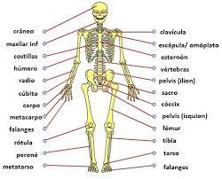 Resultado de imagen para dibujos de los huesos del tronco