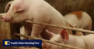 Dead Pig Infected With African Swine Fever Washes Ashore In