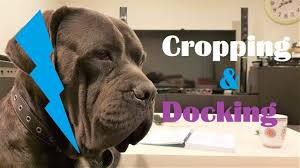 Ear Cropping Tail Docking On Cane Corso Doberman Pitbull Great Dane Etc