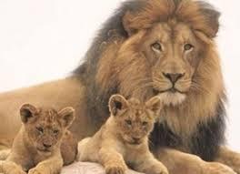 Resultado de imagen para leon cachorros