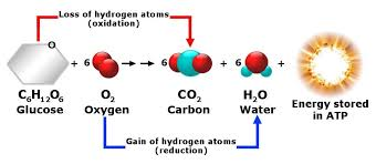in this reaction are mainly sugars carbohydrates fats and proteins and since it occurs in the presence of oxygen it s known as aerobic respiration