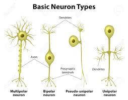 Basic Neuron Types Unipolar Pseudo Unipolar Neuron Bipolar
