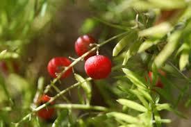 Asparagus Fern Berry | Asparagus fern, Asparagus, Growing asparagus