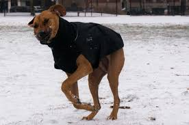 my winter jacket recommendation for active dogs marking our rhodesian ridgeback jacket winter dogs marking our territory dog blog