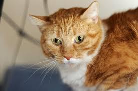 Kitten Socialization Chart How To Socialize A Cat Instructions Best Friends Animal