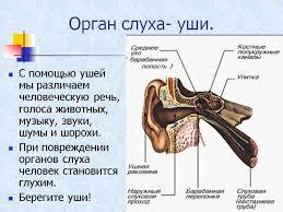 реферат Слух человека и животных  Органы слуха животных реферат