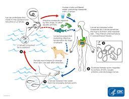 Cdc Guinea Worm Disease Biology