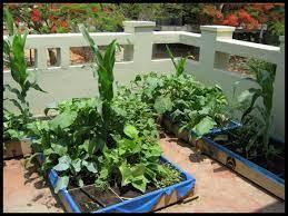 terrace gardening growing vegetables