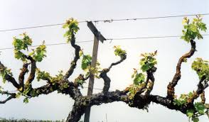 Optimized Pruning Using Spurs On Cordon Trained Grapevines