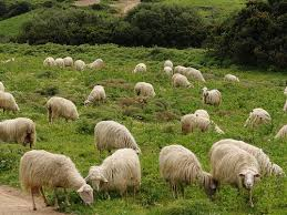 Αποτέλεσμα εικόνας για εικονες προβατα