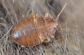 Bedbugs Images Bed Bugs May Be Splitting Into New Species Popular Science