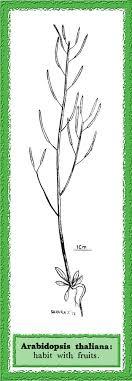 Arabidopsis thaliana in Flora of Pakistan @ efloras.org