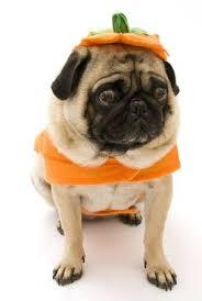 pug in pumpkin costume. Simple Costume Pug In Pumpkin Costume Stock Photo  9135941 Throughout In U