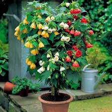 best garden plants. Abutilon In Pot Best Garden Plants