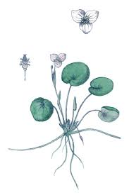 Hydrocharitaceae - Wikipedia