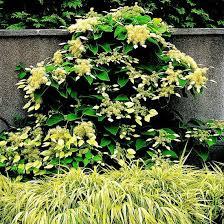 Best Climbing Plants  Burkeu0027s BackyardWall Climbing Plants That Like Shade