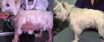Dog Skin Itch Causes and Treatment