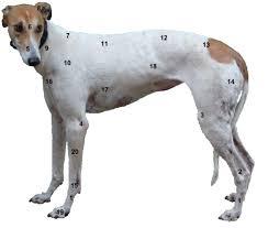 Anatomy Greyhound Wiki Fandom Powered By Wikia