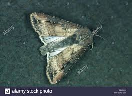 Dark Dart Moth Dark Sword Grass Moth Black Cutworm Agrotis Stock