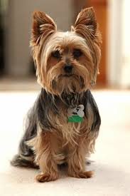 if you are a fan of fancy yorkie haircuts taking care of your pet s eyes is your primary job make sure that the hair is kept out of them otherwise