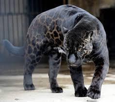 albino black panther. Delighful Panther Black Leopard Panther Jaguar Melanistic Big Cat 10 Incredible Melanistic  All Black Animals Intended Albino Black Panther N