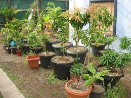Plum Trees In Pots