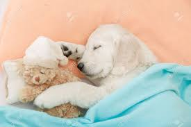 golden retriever puppy sleeping. Exellent Sleeping Cute Puppies Images Sleeping Golden Retriever Puppies HD Wallpaper And  Background Photos And Golden Retriever Puppy Sleeping M