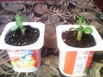 Алиэкспресс купить семена лотоса