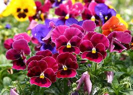 fall garden flowers. Fall Flowers | Pansies Annuals The Home Depot\u0027s Garden Club