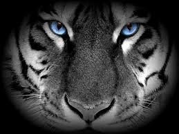 black tiger with blue eyes wallpaper. Contemporary Tiger White Tiger With Blue Eyes  Recent Photos The Commons Getty Collection  Galleries World Map App  With Black Wallpaper H