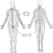 Spinal Dermatomes Chart Dermatome Hypalgesia With Posterolateral Herniation Of Lower