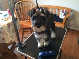 grooming your schnauzer part 1 back and