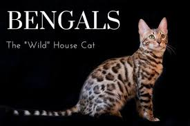 The Joys And Hazards Of Living With A Pet Bengal Cat
