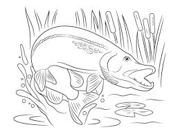 Small Picture Pike coloring pages Free Coloring Pages