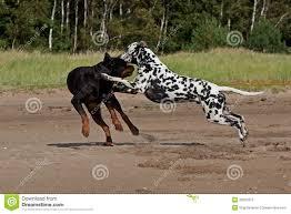 rottweiler dog vs pitbull. royalty-free stock photo rottweiler dog vs pitbull