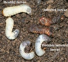 Development Of Management Programs For White Grubs In California