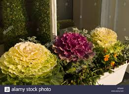 Decorative Window Boxes dh CABBAGE UK Flowering Ornamental decorative cabbages in window 33